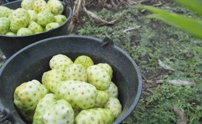 Noni - wyjątkowy owoc o niezwykłych właściwościach